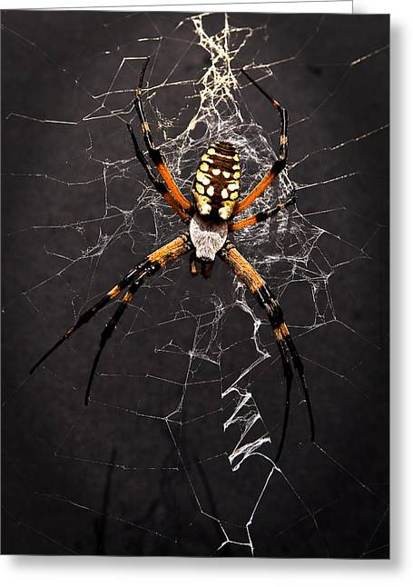 Tamyra Ayles Greeting Cards - Garden Spider and Web Greeting Card by Tamyra Ayles