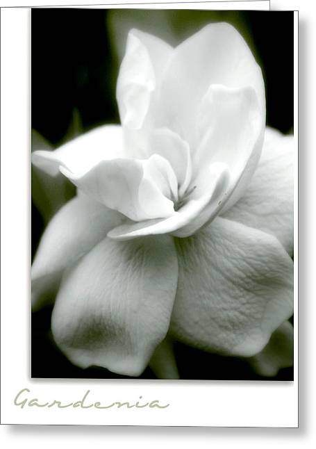 Gardenia Greeting Cards - Gardenia Greeting Card by Holly Kempe
