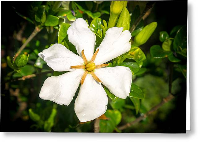 Gardenia Greeting Cards - Gardenia in the Morning Sun Greeting Card by Douglas Barnett