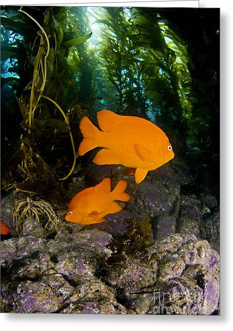 Kelp Forest Greeting Cards - Garibaldi and Kelp Greeting Card by Dave Fleetham - Printscapes
