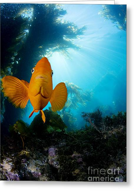 Kelp Forest Greeting Cards - Garibaldi Fish Greeting Card by Dave Fleetham - Printscapes