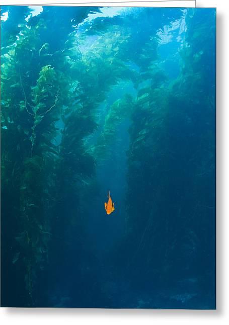 Garibaldi Fish In Giant Kelp Underwater Greeting Card by James Forte