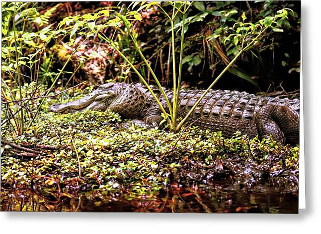 Divorce Greeting Cards - Gator Beauty Greeting Card by Sheri McLeroy