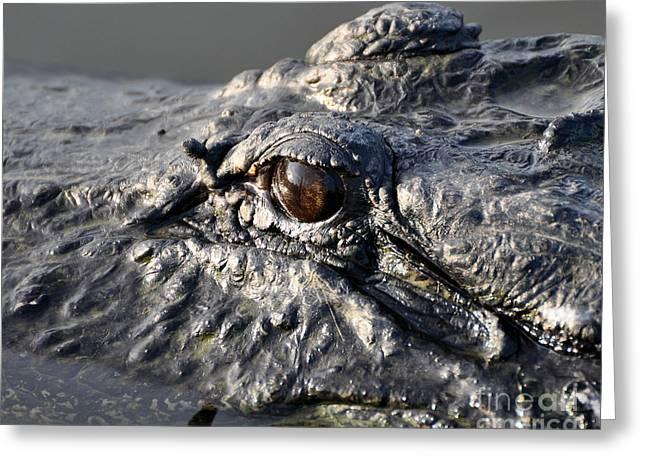 American Alligator Greeting Cards - Gator Gaze Greeting Card by Al Powell Photography USA