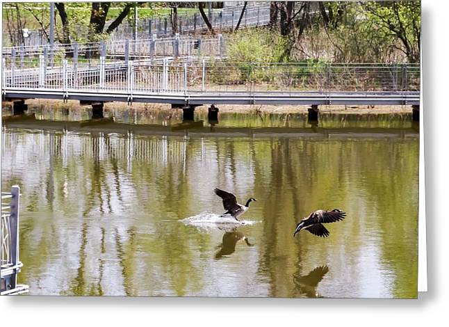 Reflections In River Greeting Cards - Geese Landing in Water Greeting Card by Cynthia Woods