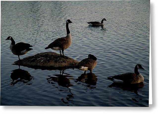 Groton Greeting Cards - Geese On And Around A Rock In A Marsh Greeting Card by Todd Gipstein