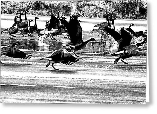 Geese on Ice Taking Flight Greeting Card by Bill Cannon