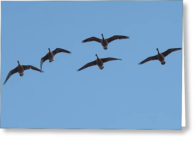 Geese Overhead Greeting Card by Paul Freidlund
