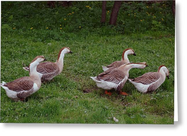 Swan Birth Art Greeting Cards - Geese Walk Greeting Card by Lana Art