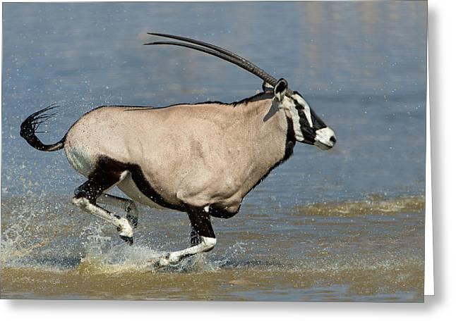 Gemsbok Greeting Cards - Gemsbok Oryx Gazella Running Greeting Card by Panoramic Images