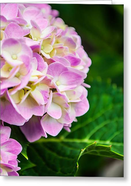 Pinks And Purple Petals Photographs Greeting Cards - Gentle Colors Greeting Card by Shelby  Young