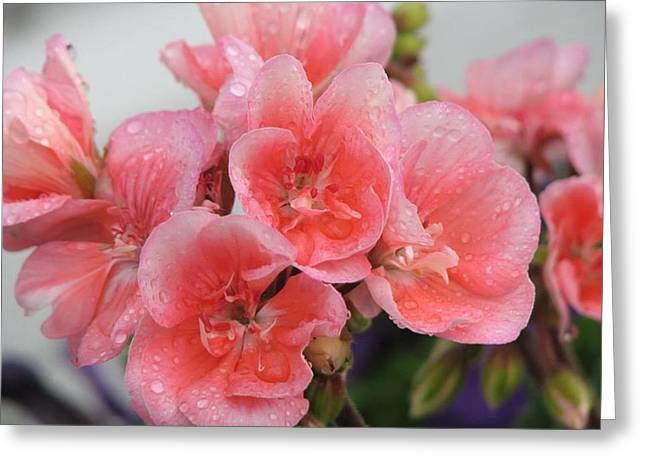 Shower Head Greeting Cards - Geranium in the Rain Greeting Card by Sharon Duguay