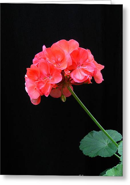 Botanical Pyrography Greeting Cards - Geranium Greeting Card by Linda Vespasian