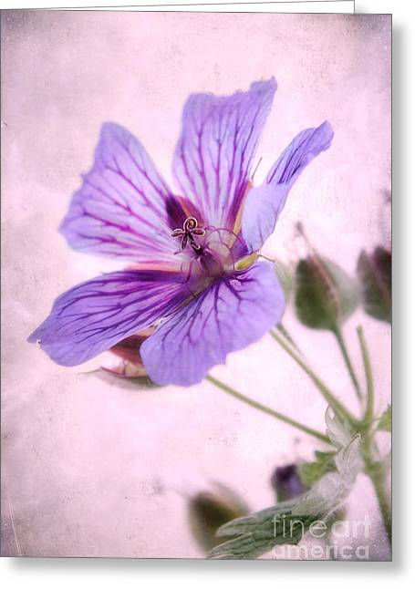Geraniums Greeting Cards - Geranium maculatum Greeting Card by John Edwards