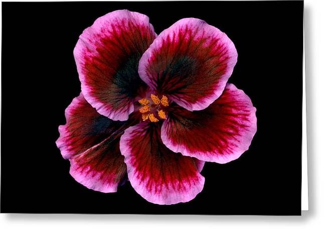 Nature Pyrography Greeting Cards - Geranium Greeting Card by Richard Wilhelm
