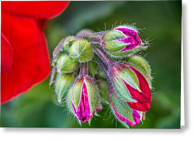 Red Geraniums Greeting Cards - Geranium Greeting Card by Steve Harrington