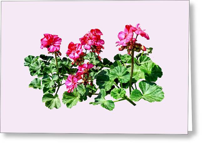Geranium Greeting Cards - Geraniums In a Row Greeting Card by Susan Savad