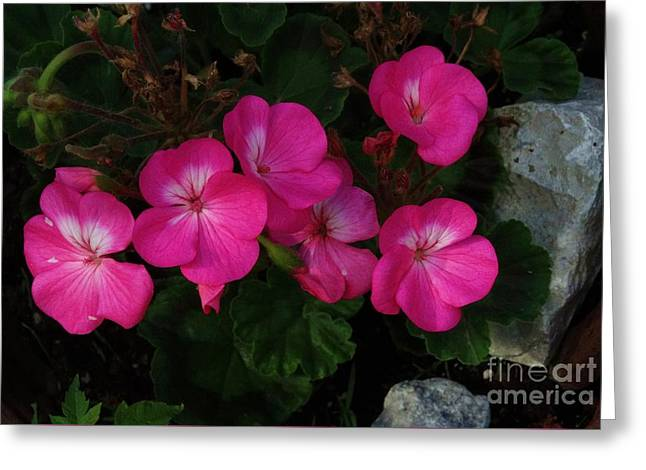 Heavenly Scent Greeting Cards - Geraniums Greeting Card by J L Zarek