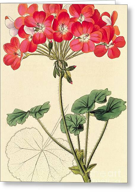 Geraniums Greeting Card by Leopold Trattinick