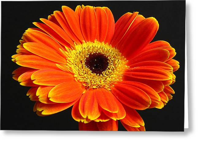 Ornamental Plants Greeting Cards - Gerber Daisy Portrait Greeting Card by Juergen Roth
