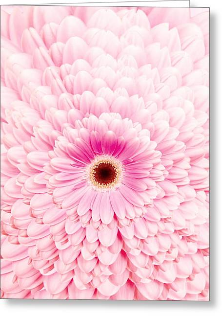 Geometric Design Greeting Cards - Gerbera Blossom With Pink Colored Petals Amids A Petal Pattern Greeting Card by Jozef Klopacka