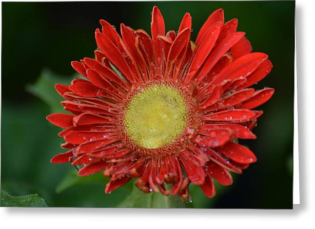 Spring Tapestries - Textiles Greeting Cards - Gerbera Daisy Greeting Card by James Hennis