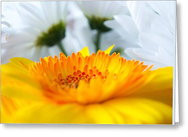 Barberton Daisy Greeting Cards - Gerbera Daisy Greeting Card by Shelby  Young