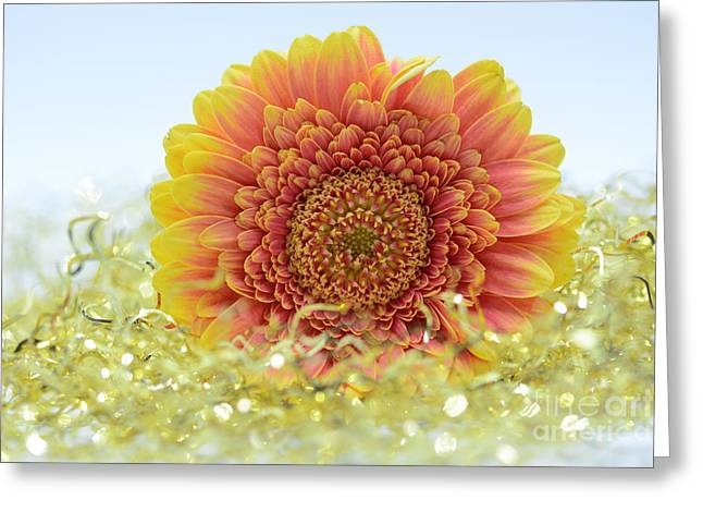 Gerbera In Color Greeting Card by SK Pfphotography