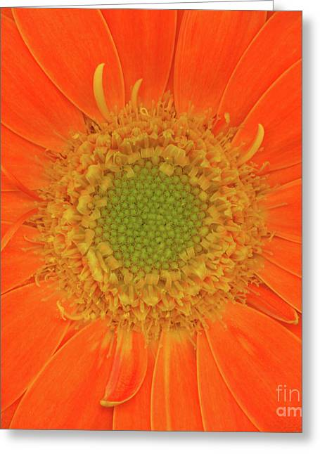 Value Greeting Cards - Gerbera Two Greeting Card by Christopher Gruver
