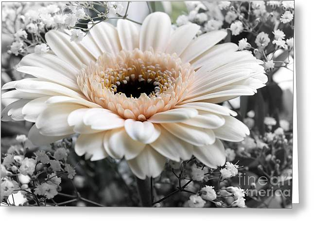 Fragrant Greeting Cards - Gerbera white Greeting Card by SK Pfphotography