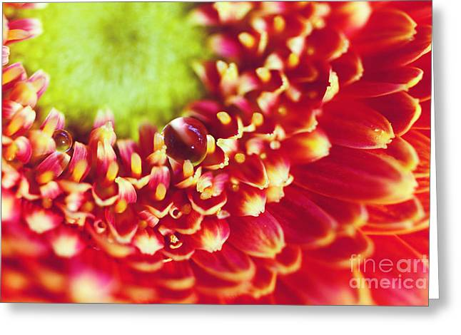 Gerbera With Drop Greeting Card by SK Pfphotography