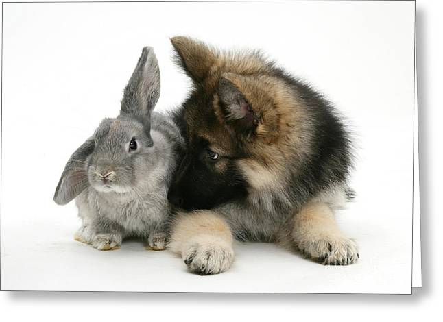 German Shepherd And Rabbit Greeting Card by Mark Taylor