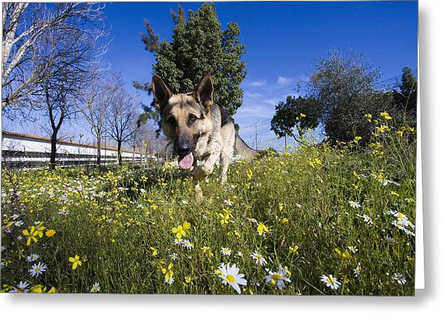 German Shepherd Greeting Card by Andre Goncalves