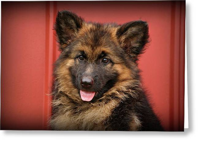Indiana Photography Greeting Cards - German Shepherd Puppy - Queena Greeting Card by Sandy Keeton