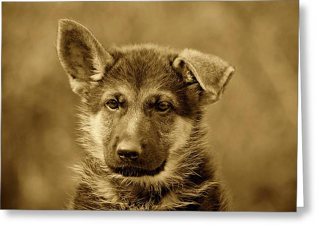 Indiana Art Greeting Cards - German Shepherd Puppy in Sepia Greeting Card by Sandy Keeton