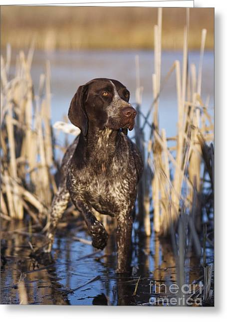 Gun Dog Greeting Cards - German Shorthair On Point -  D000897 Greeting Card by Daniel Dempster