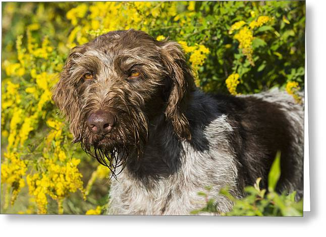 Bred Greeting Cards - German Wirehaired Pointer In Autumn Greeting Card by Lynn Stone