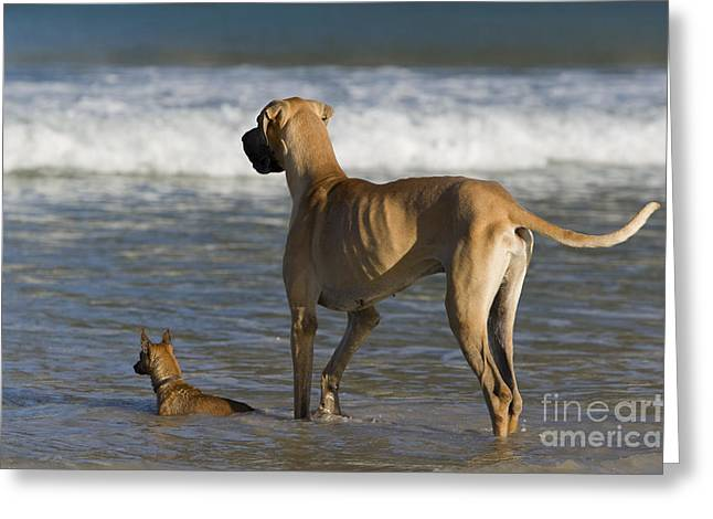 Dog Play Sea Greeting Cards - Giant And Tiny Dogs Greeting Card by Jean-Louis Klein & Marie-Luce Hubert