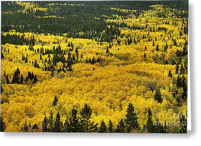 Giant Aspen Glen 2 Greeting Card by Pete Hellmann