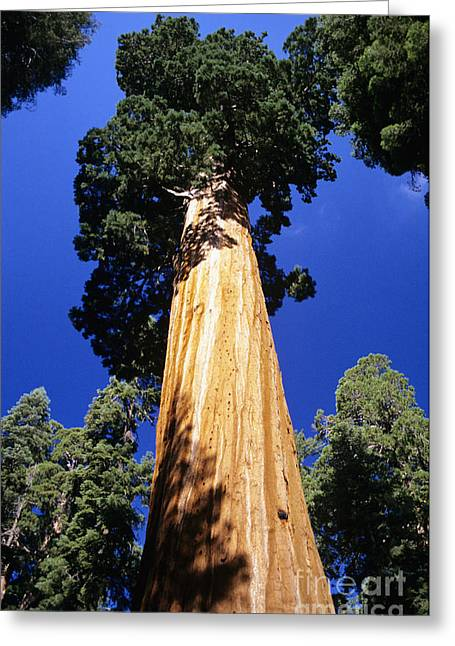 Howell Greeting Cards - Giant Sequoia Greeting Card by Michael Howell - Printscapes