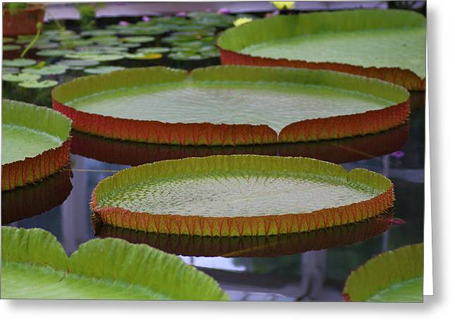Victoria Cruziana Greeting Cards - Giant Water Lilies Greeting Card by Rumyana Whitcher