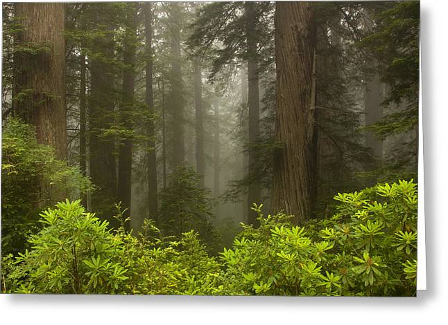 Redwood Tree Greeting Cards - Giants in the Mist Greeting Card by Mike  Dawson
