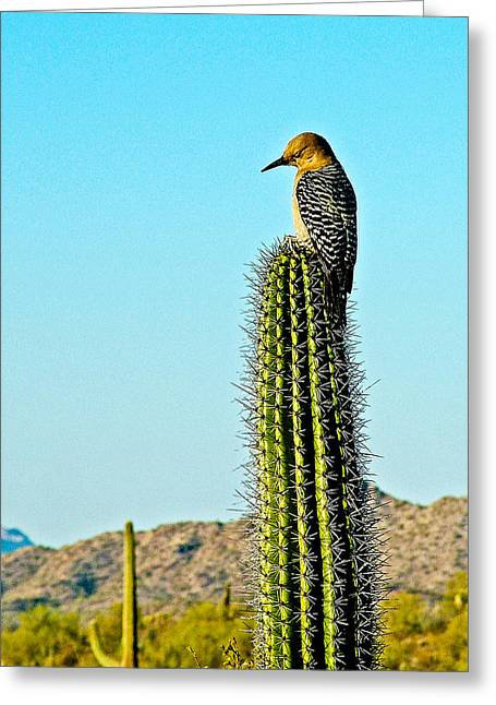 Gila Woodpecker On Saguaro In Organ Pipe Cactus National Monument-arizona Greeting Card by Ruth Hager