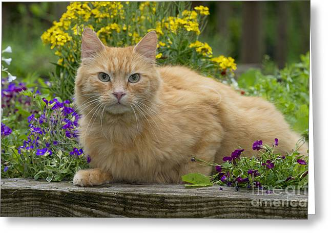 Domestic Pet Portraits.house Cat Greeting Cards - Ginger Cat In Garden Greeting Card by John Daniels