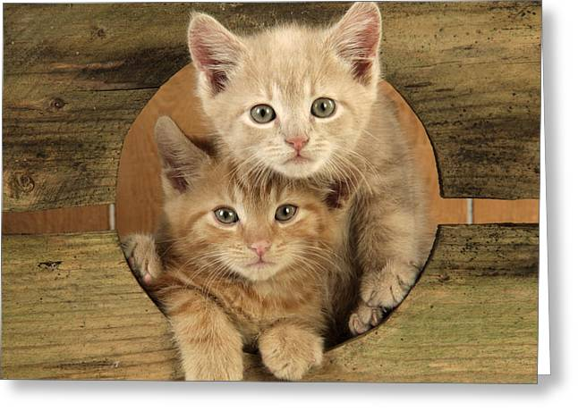 Peep Hole Greeting Cards - Ginger Kittens Greeting Card by John Daniels