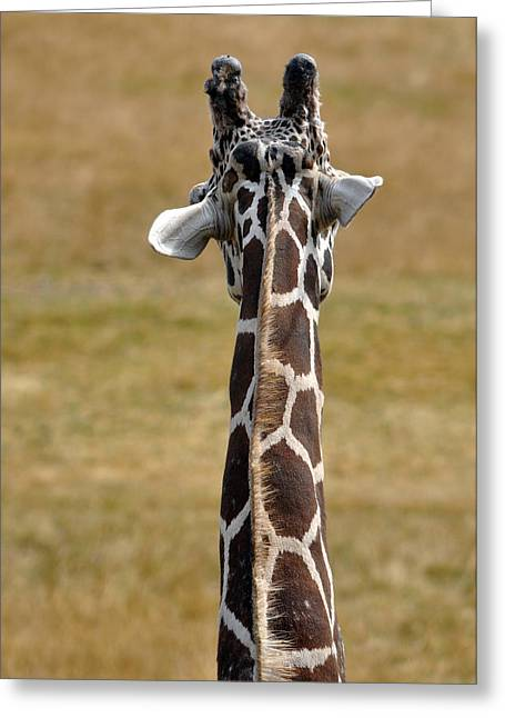 Drive Through Greeting Cards - Giraffe From Behind II Greeting Card by Laura Mountainspring