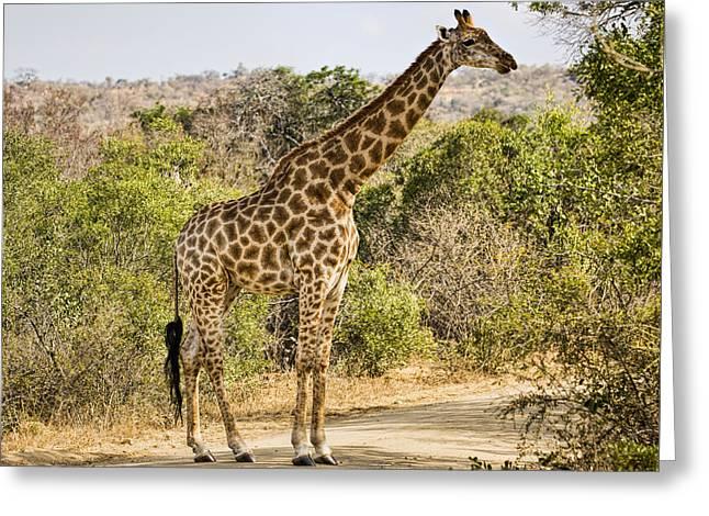Giraffe Grazing Greeting Card by Stephen Stookey