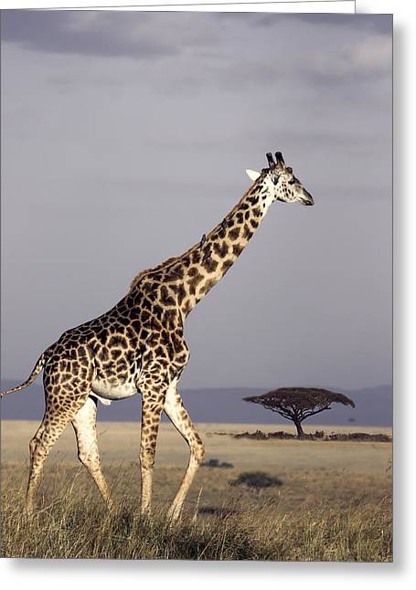 Game Greeting Cards - GIRAFFE on AFRICAN PLAINS Greeting Card by Daniel Hagerman