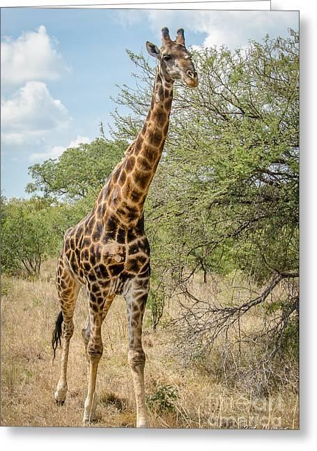 Giraffe Greeting Card by Pat Lucas