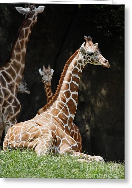 Julian Bralley Greeting Cards - Giraffe Rest Greeting Card by Julian Bralley